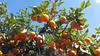 Frutífera (Ha1000) Tags: limão laranja fruto fruta tree árvore céu azul folhagem folha lemon lime fruit colheita ripe maduro fruitful abundance offspring frutífero