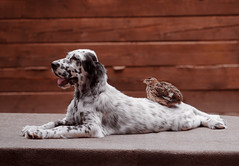 English Setter puppy (mouse_adikatz) Tags: english setter puppy portrait face animal sweet head pet dog canine breed cute baby mammal gorgeous playful friend background beauty beautiful hunter white black profile pets spotted color nature posture happiness shape small alertness mouth