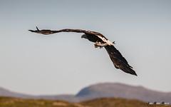 Havørn-0049 (jarud) Tags: 2017 eagle fugl havørn naturopplevelser norge norway smøla whitetailed ørn