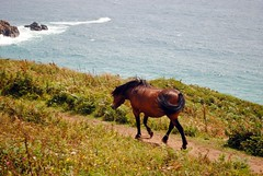 Dartmoor Pony at Treen Cliff (zawtowers) Tags: cornwall kernow summer holiday break vacation july 2017 porthcurno porthkornow thursday 20th sunshine sunny afternoon blue skies warm national trust coastline beach seaside sea south west coast path treen dartmoor ponies beautiful animals walking eating relaxed calm serene