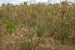 Jatropha field