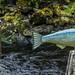 2017 - Alaska - Ketchikan - Fish out of Water