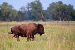 _ND50517 (jrash168) Tags: wildlife buffalo nebraska cranetrust bison