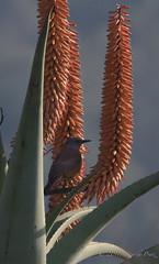 Sentinel Rock-Thrush (Monticola explorator) (Peter du Preez) Tags: sentinel rockthrush monticola explorator bird
