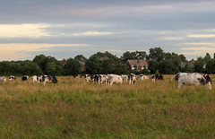 Hob Moor, evening (nican45) Tags: 15july2015 15072017 2017 canon hobmoor holgate july powershot sx700hs york cow evening sky