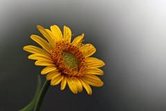 Light (bnbalance) Tags: nature yellow summer new flower macro