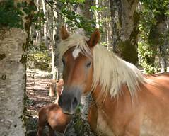 Cavallo biondo (giorgiorodano46) Tags: luglio2017 2017 july giorgiorodano nikon italy ovindoli abruzzo cavallo horse valdarano altipianodellerocche bosco woods bois
