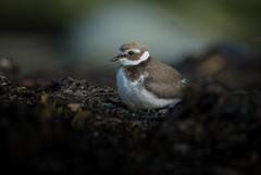 Ringed Plover (gunvardÅnensen) Tags: bird nature wildlife wildlifephotography ringedplover norway shore beach seaweed nikond600 tamron150600