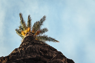 Cadiz Palm Tree
