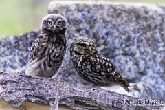 Crias de mochuelo (Athene noctua)  jugando y posando. (Esmerejon) Tags: mochuelos athene noctua criasdemochuelos aves naturaleza respetoenlanaturaleza esoquecasisiempreolvidamos
