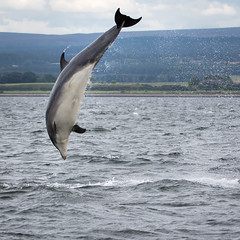 Breach (Ginger Snaps Photography) Tags: chanonry point highland scotland breach leap bottlenose dolphin wild wildlife sigma nature natural air