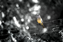 Tudo o que move é Sagrado (rqserra) Tags: pb bw blackandwite pretoebranco monochrome monocromático pássaro bird nature minimal minimalism minimalismo natureza selectivecolor