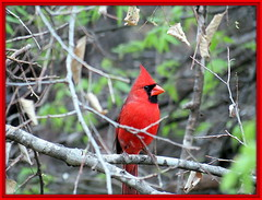 Northern Cardinal (The Old Texan) Tags: bird cardinal cannon texas fredericksburg
