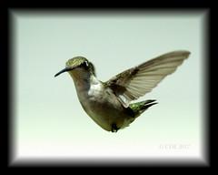 Weeeee! (Chris Ehrlich Photography) Tags: cde photography hummingbirds female nature birds feeders ngc nikon sky