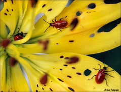 Destruction (John Neziol) Tags: jrneziolphotography scarletlilybeetle portrait bug macro lily yellowlily outdoor nature nikon nikoncamera nikondslr nikond80 brantford insect insects pest destruction wildlife