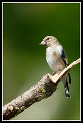 Young-Goldfinch (David E Cassells) Tags: