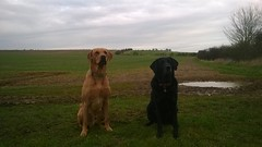 Good friends, Wilson & Bessie, in traditional pose! (Jo. Jo.) Tags: spring countryside red fox labrador retriever black good friends east anglia arable land england walk morning dogs green