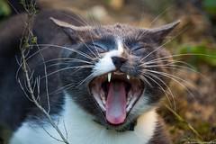 El gato,  the cat, le chat (jymandu) Tags: