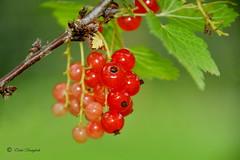 the berries time (Elahe Dastgheib) Tags: elahe nature berry red currant shine sun röda vinbär sommarbär green äppelfabriken ekerö stockholm sweden closeup sverige