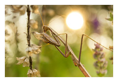 Praying Mantis (treeformed) Tags: nature insect macro mood theme flickr canon praying mantis sun bokeh