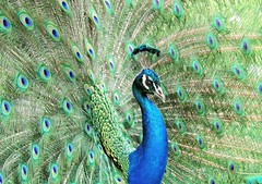 Peacock (PhotoLoonie) Tags: peacock bird feathers peafowl colours