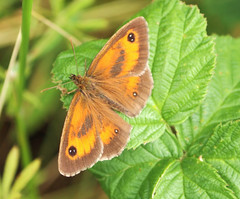 Pyronia wings (ekaterina alexander) Tags: pyronia tithonus butterfly wings orange summer ekaterina england alexander sussex wild nature photography pictures gatekeeper