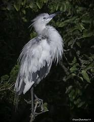 Calico1-4 (lfalterbauer) Tags: littleblueheron canon 7dmarkii wildlife nature oceancity jerseyshore newjersey avian ornithology ocean bay wetlands cornell rookery oceancitywelcomecenter birdwatcher
