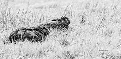 Hasen schwarz/weiß (petra.foto busy busy busy) Tags: fotopetra canon hasen hasenpaar tiere wildtiere natur nature wildlife tierfotografie feld wiese gras eos70d