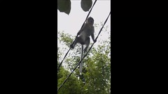 Tightrope Walking Temple Monkey