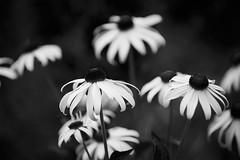 Flowers behind the Met (_prachi_) Tags: plants telephoto flowers newyork usa centralpark blackandwhite