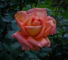 Victor Borge rose (frankmh) Tags: plant flower rose victorborgerose krapperupcastlegarden skåne sweden outdoor macro