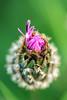 Brown knapweed bud opening up (Martin von Ottersen) Tags: sel90m28g macro wildflower wiesenblume bud flower blüte knospe centaureajacea brownknapweed wiesenflockenblume