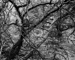 Tree abstraction (hyons Wood) (Jonathan Carr) Tags: black white bw monochrome rural northeast abstract tree landscape ancientwoodland 4x5 5x4 largeformat toyo45a