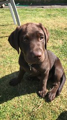 #dog #dogs #puppy #puppies #labrador #chocolatelabrador #labpup #choclabpup #chocolatelabradorpuppy #cute (Sophie_Metcalfe) Tags: dog dogs puppy puppies labrador chocolatelabrador labpup choclabpup chocolatelabradorpuppy cute