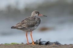 Redshank (Barbara Evans 7) Tags: redshank low newton by the sea northumberland uk barbara evans7
