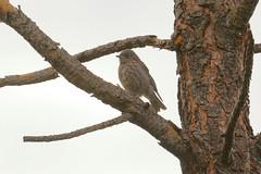 Western Bluebird juvenile (0544) (Bob Walker (NM)) Tags: bird bluebird westernbluebird sialiamexicana webl juvenile bandeliernationalmonument newmexico usa