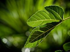 Trasluz (Luicabe) Tags: airelibre cabello enazamorado exterior ficuscarita higuera hoja luicabe luis naturaleza planta sombra trasluz verde yarat1 zamora zoom ngc