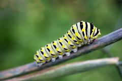 stripes (sephrocker) Tags: efm m1 macro caterpillar stripes black yellow depthoffield bokeh bug