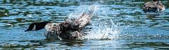 Canada goose making a splash down (Raginmund) Tags: goose geese bird birds wildlife essex splash nikon wat waterbird canada nature