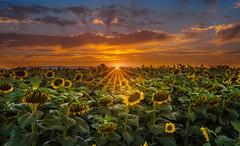 Beautiful, Even In Death (Juan Pablo J.) Tags: sonya68 sunset sony sky landscapes longexposurephotography lights sundown sunflower sunsetmadness fields naturephotography nature naturepics