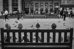 Pigeon Street (Leanne Boulton) Tags: monochrome people urban street streetphotography candidstreetphotography candid streetlife urbanlandscape wildlife bird birds pigeon feral vermin bench composition personalspace humour humorous fun animals nature georgesquare tone texture detail depthoffield bokeh naturallight outdoor light shade shadow city scene life living humanity society culture canon canon5d 5dmarkiii 70mm ef2470mmf28liiusm black white blackwhite bw mono blackandwhite glasgow scotland uk