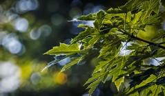 Silver Maple & Bokeh-HBW (☁☂It's Raining, It's Pouring☂☁) Tags: bokeh bokehwednesdays bokehwednesdaytoo leaves silvermaple dew shimmer glow inthebackyard green