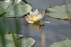 afloat (oskaybatur) Tags: lotus nilüfer waterlily 2017 oskaybatur lake reflection flower nature iğneada pentaxk3 türkiye turkey turkei pentaxart smcpentaxdal55300mmf458ed justpentax may spring mayıs