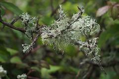 Lichen tree (Heather.H.) Tags: tree twigs branches lichen