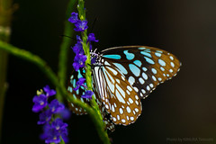 Flower and Butterfly (kimtetsu) Tags: 香港 hongkong 花 flower 蝶々 butterfly 昆虫 insect wildlife