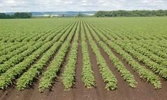 Published in the Western Producer - July 13, 2017 (Jeannette Greaves) Tags: 2017 westernproducer potato crop morden manitoba escarpment jspubpic