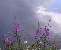Willowherb in front of a lake (in Explore) (Helen Lundberg Photography) Tags: flower plant outdoor wildflower nature willowherb reflection water lake sweden pink