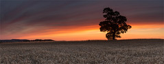 Bands of last light (the governor) Tags: single wheat tree sunset lee field