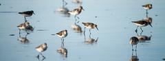 Grouping (ranzino) Tags: jerseyshore newjersey stoneharbor vacaction animal beach bird nj ocean sandpiper sandpipers unitedstates us