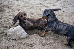 Runswick-Whitby.WEB-14 (LazenbyVisuals) Tags: dog dogs spaniels cocker springer beach walk walking runswick bay yorkshire coast dachshund